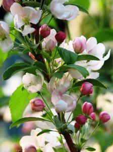 Maryland Cherry Tree