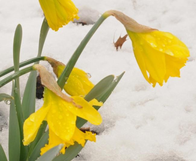snow-daffodills2 [1600x1200]