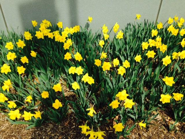 Daffodils in Annandale, Va. neighborhood