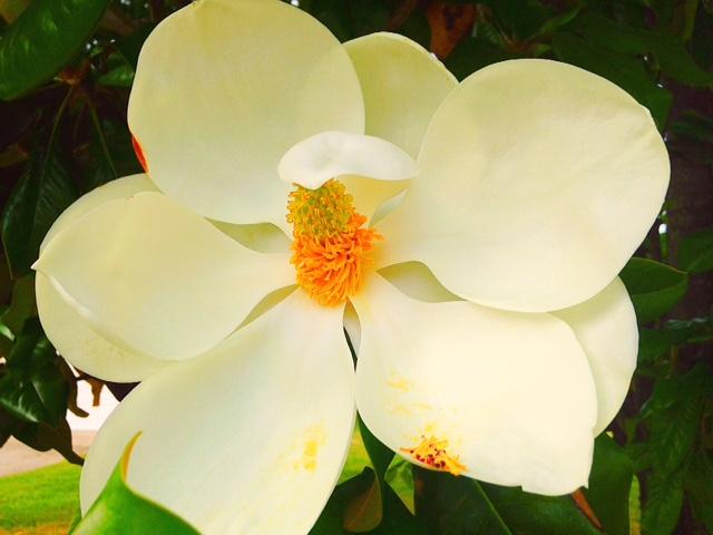 Summer Magnolia in Bloom