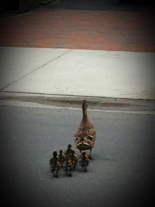 Mama duck walking ducklings