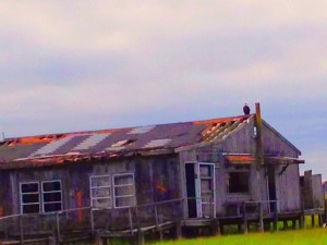 A bald eagle sits atop an abandoned fishing cabin in popular DMV area vacation destination, Chincoteague Island, Va.