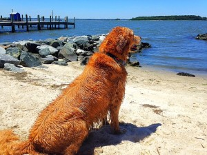 Dog enjoying Chesapeake Bay