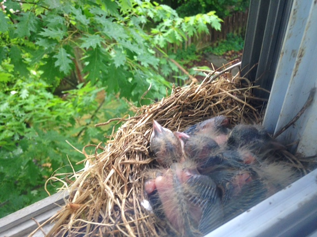 Three baby Robins